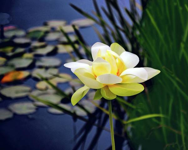 Lotus Pond Photograph - Lovely Lotus by Jessica Jenney