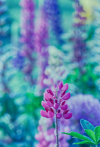 Wall Art - Photograph - Lovely Lupine by Bonnie Bruno