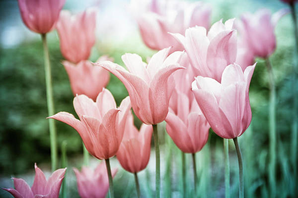 Photograph - Lovely Tulips by Maria Heyens