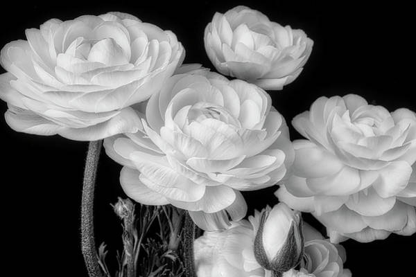 Ranunculus Photograph - Lovely White Ranunculus In Black And White by Garry Gay