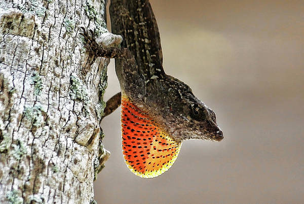 Brown Anole Wall Art - Photograph - Lover Or Fighter by HH Photography of Florida