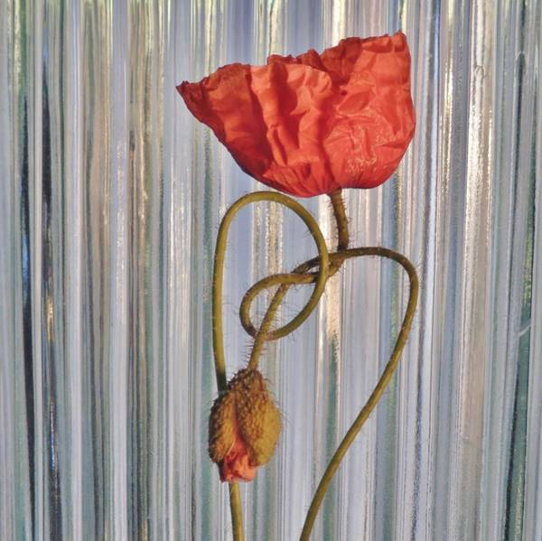 Photograph - Love's Knot by Barbara St Jean