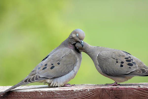 Photograph - Lovey Doveys by Judi Dressler