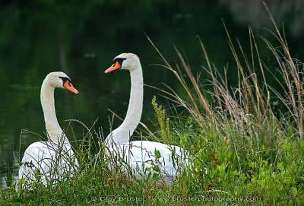Photograph - Loving Swans by Clayton Bruster