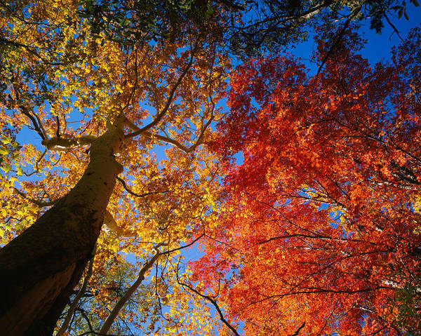 Coronado National Forest Photograph - Low Angle View Of A Sycamore Tree by Panoramic Images