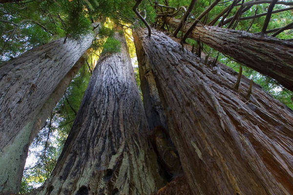 Wall Art - Photograph - Low-angle View Of Redwood Trees by Panoramic Images
