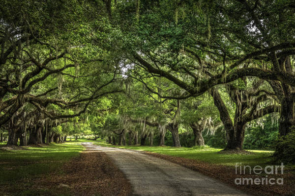 Photograph - Low Country Live Oak by David Waldrop