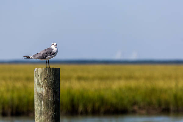 Photograph - Low Country Seagull  by Donnie Whitaker
