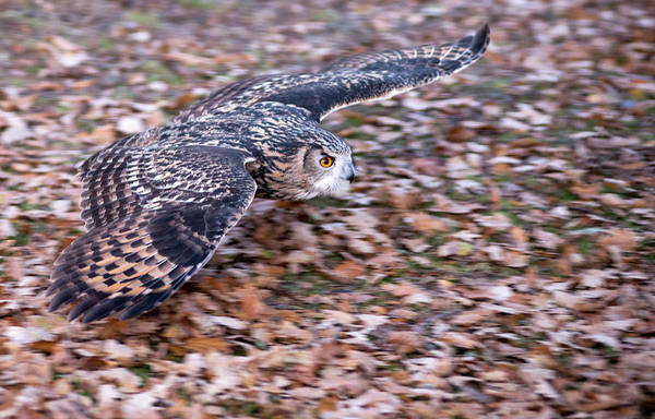 Photograph - Low Hunting Flight  by Cliff Norton