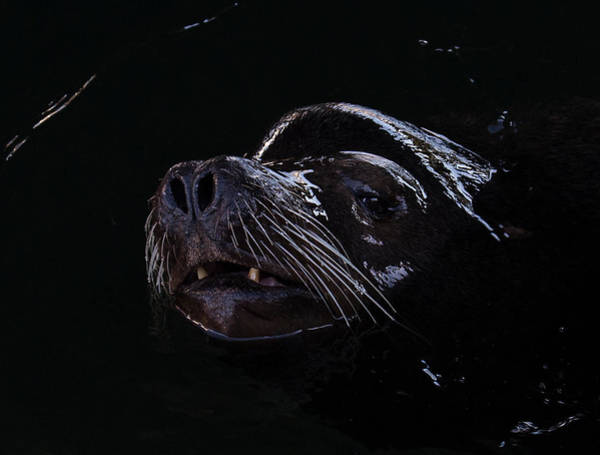 Photograph - Low Key Sea Lion by Randy Hall