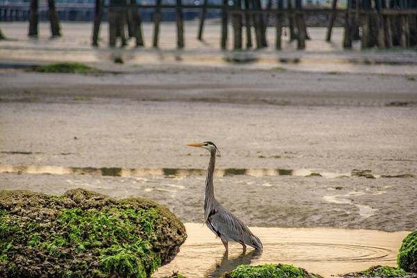 Photograph - Low Tide Heron by Bill Posner