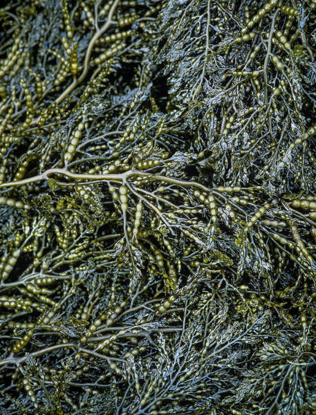 Photograph - Low Tide Seaweed by Robert Potts