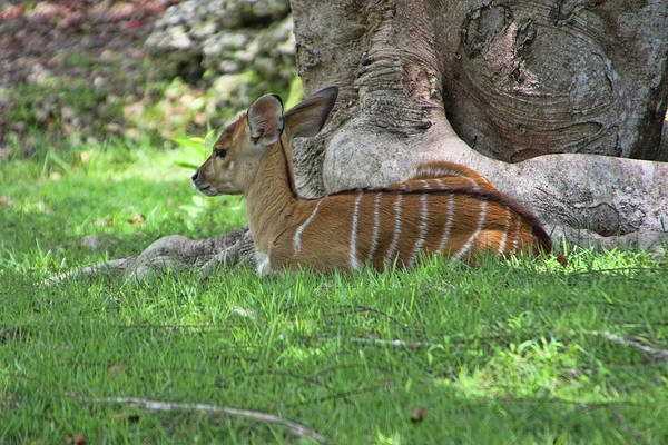 Photograph - Lowland Nyala - Rdw006241 by Dean Wittle