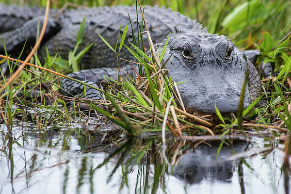 Photograph - Loxahatchee Alligator-0639 by Steve Somerville