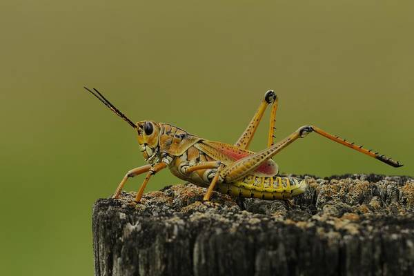 Photograph - Lubber Grasshopper On A Post by Bradford Martin