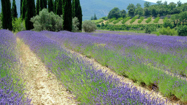 Photograph - Lucid Lavender by August Timmermans