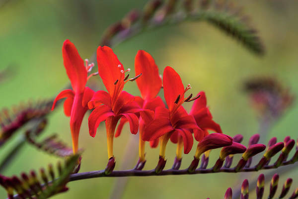 Photograph - Lucifer Crocosmia Blooms by Robert Potts