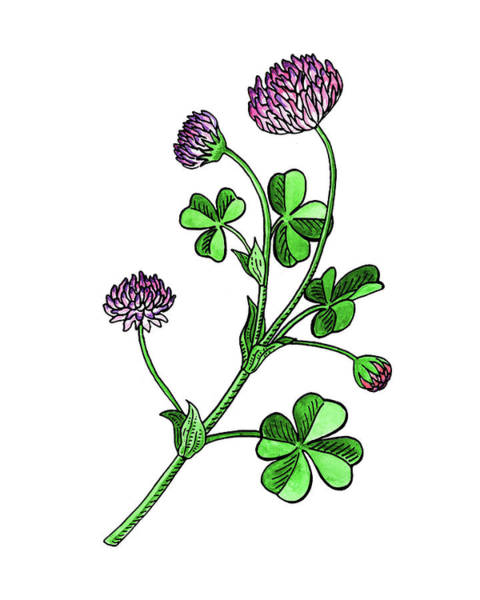 Botanic Painting - Lucky Clover Flower Botanical Watercolor  by Irina Sztukowski