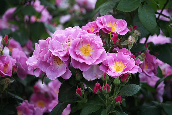 Photograph - Lucky Floribunda Roses by Rona Black