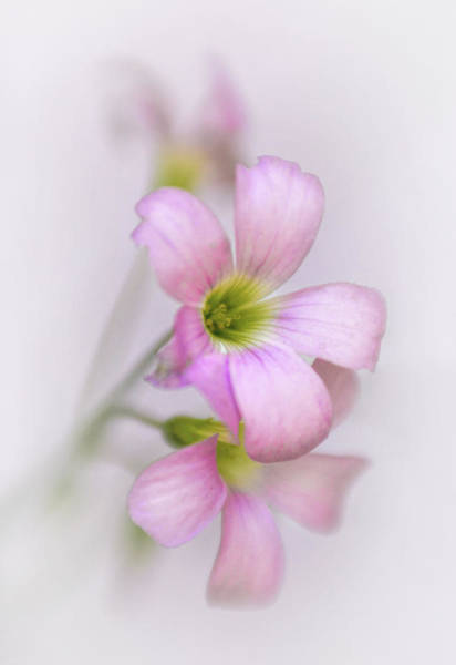 Wall Art - Photograph - Lucky Pink Shamrock Bloom by David and Carol Kelly