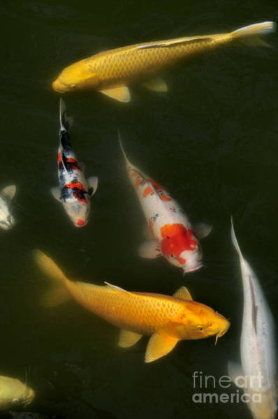 Koi Pond Photograph - Lucky Pond by Andy Smy