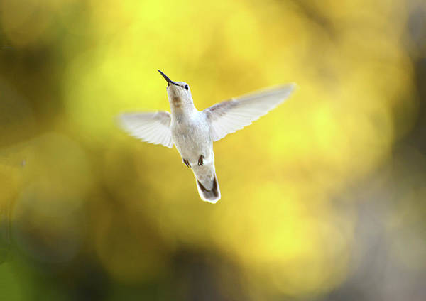 Photograph - Luecistic Hummingbird  by Lynn Bauer