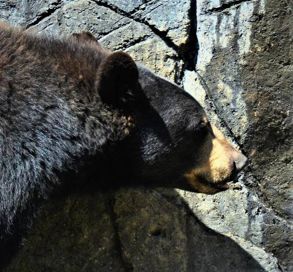 Photograph - Lumbering Bear by CK Brown