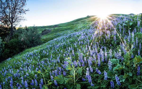Figueroa Mountain Photograph - Luminous Lupines by Stephen Mori Photography