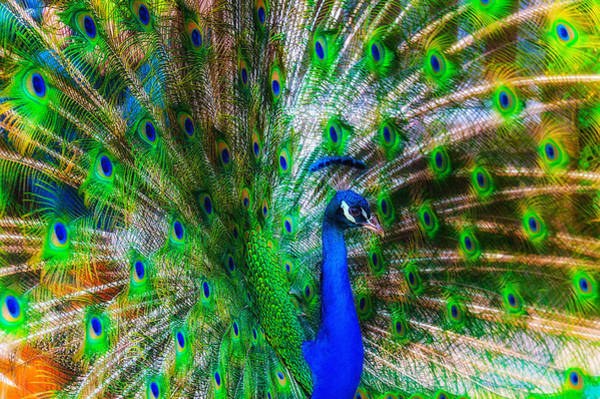 Photograph - Luminous Peacock by Harry Spitz