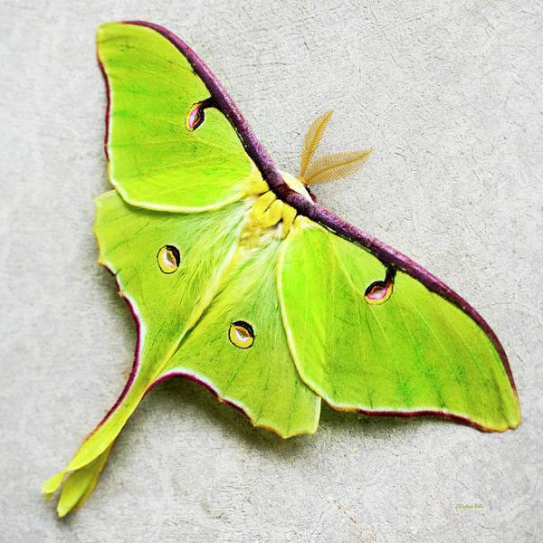 Photograph - Luna Moth by Christina Rollo
