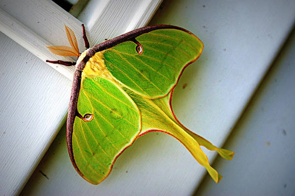 Photograph - Luna Moth by Cricket Hackmann