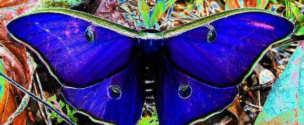 Lee Filters Wall Art - Photograph - Luna Moth Uv Pano by David Lee Thompson