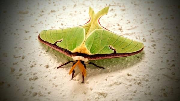 Photograph - Luna Moth by Vincent Autenrieb