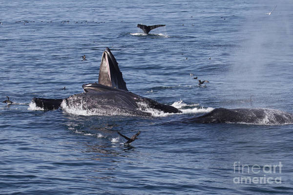 Photograph - Lunge-feeding Humpback Whales  2015 by California Views Archives Mr Pat Hathaway Archives