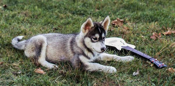 Photograph - Lupe, The Husky Puppy by Richard Goldman