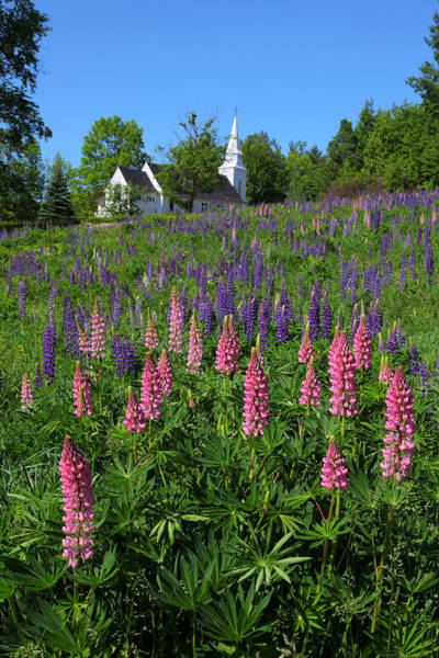Photograph - Lupin Church by Larry Landolfi