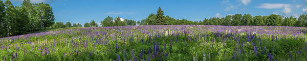 Photograph - Lupine Field by Darryl Hendricks