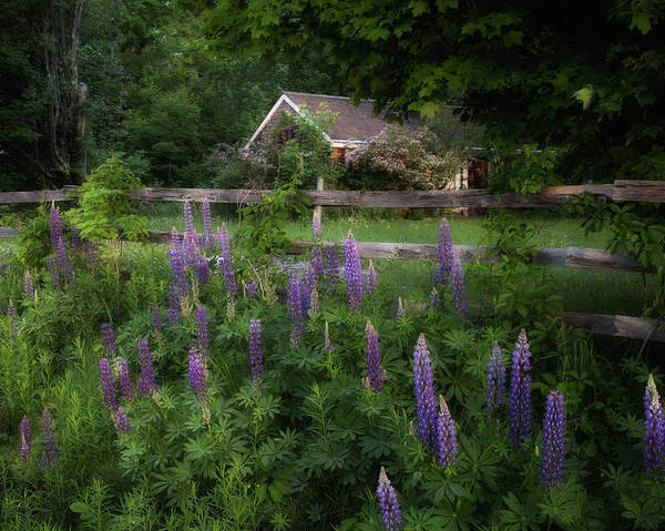 Photograph - Lupine Along The Fence by Darylann Leonard Photography