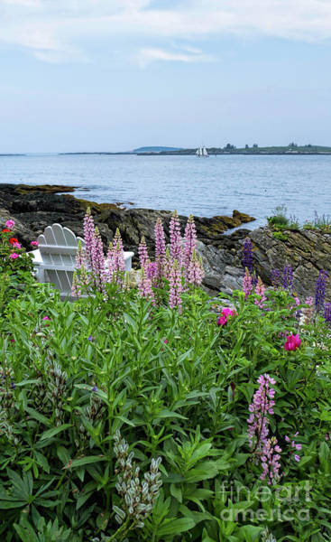 Photograph - Lupine And Chair, Ocean Point, East Boothbay, Maine #50819 by John Bald