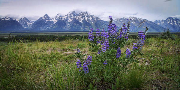 Teton Photograph - Lupine Beauty by Chad Dutson