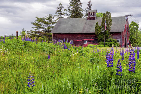Photograph - Lupine Country by Rod Best