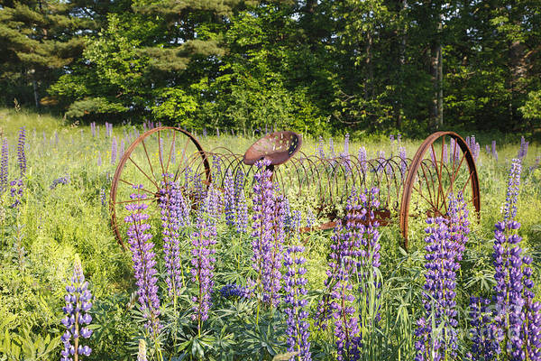 Photograph - Lupine Festival - Sugar Hill New Hampshire Usa by Erin Paul Donovan