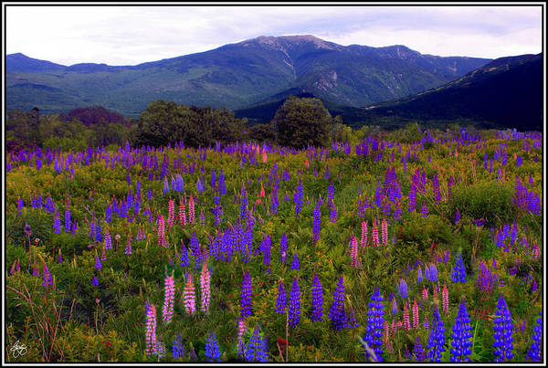 Photograph - Lupine Field In Franconia Range by Wayne King