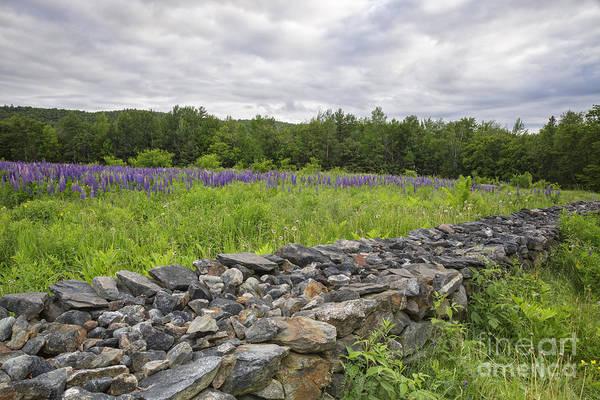 Wall Art - Photograph - Lupine Field - Sugar Hill New Hampshire  by Erin Paul Donovan