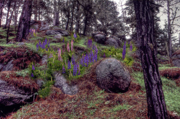 Photograph - Lupine In A Boulder Field by Wayne King