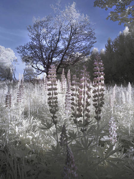 Photograph - Lupine In Infrared - Sugar Hill New Hampshire by Joann Vitali