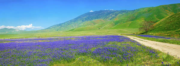 Photograph - Lupine Landscape Panorama At Tejon Ranch by Lynn Bauer