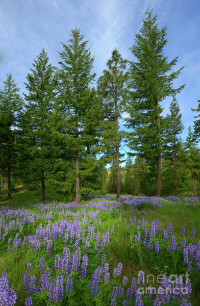 Wall Art - Photograph - Lupine Meadow by Mike Dawson