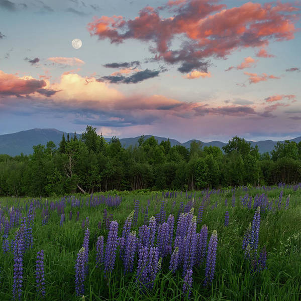 Photograph - Lupine Moon by Bill Wakeley