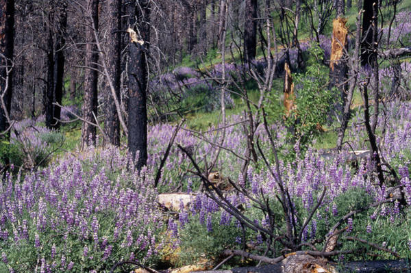 Figueroa Mountain Photograph - Lupine On Figueroa Mountain by Soli Deo Gloria Wilderness And Wildlife Photography